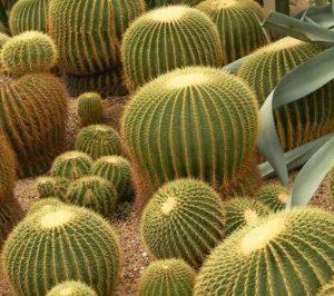 Echinocactus grusonii หรือ ถังทอง