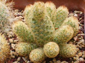 Mammillaria elongata หรือ นิ้วทอง