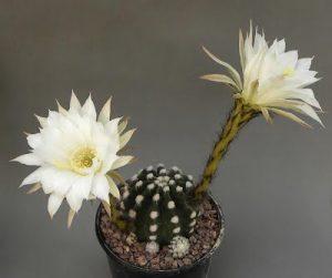 echinopsis subdenudata หรือ นูปต้า