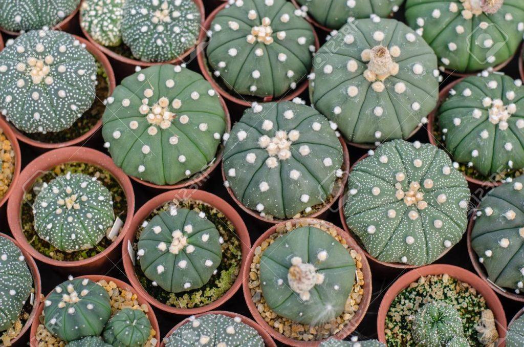 แอสโตรไฟตัม (Astrophytum)