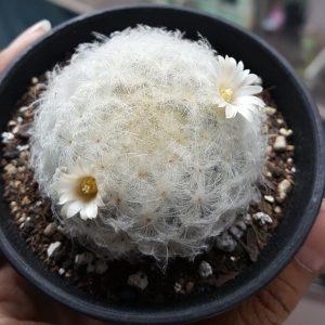Mammillaria plumosa หรือ ขนนกขาว