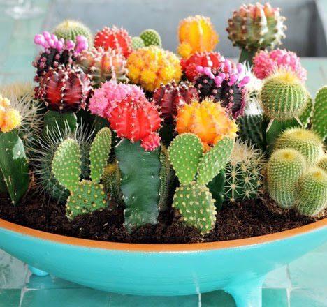 หมวกสังฆราช (Bishop's Cap Cactus)