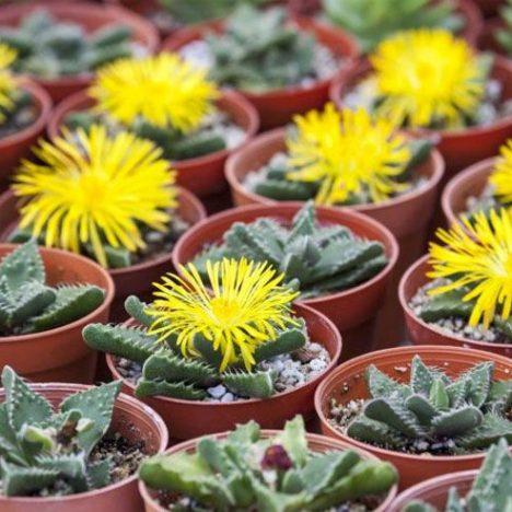 Echinofossulocactus Phyllacanthus หรือ คลื่นสมอง