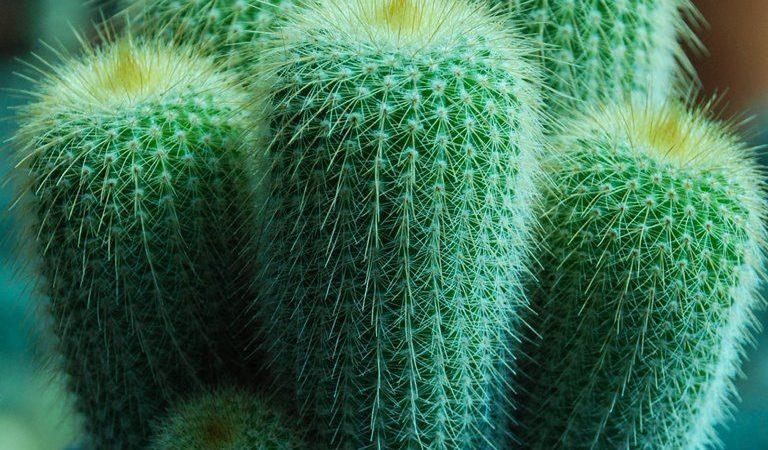 Eriocactus leninghausii หรือ กระบองทอง