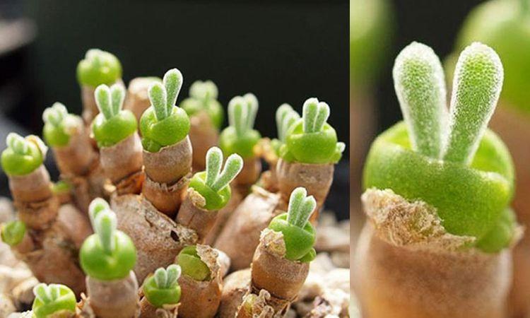 ต้นกระต่าย Monilaria