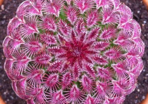 เรนโบว์ แคคตัส (Rainbow Cactus)