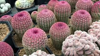 """""""เรนโบว์"""" แคคตัส (Rainbow Cactus)"""