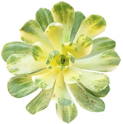 Aeonium Suncup